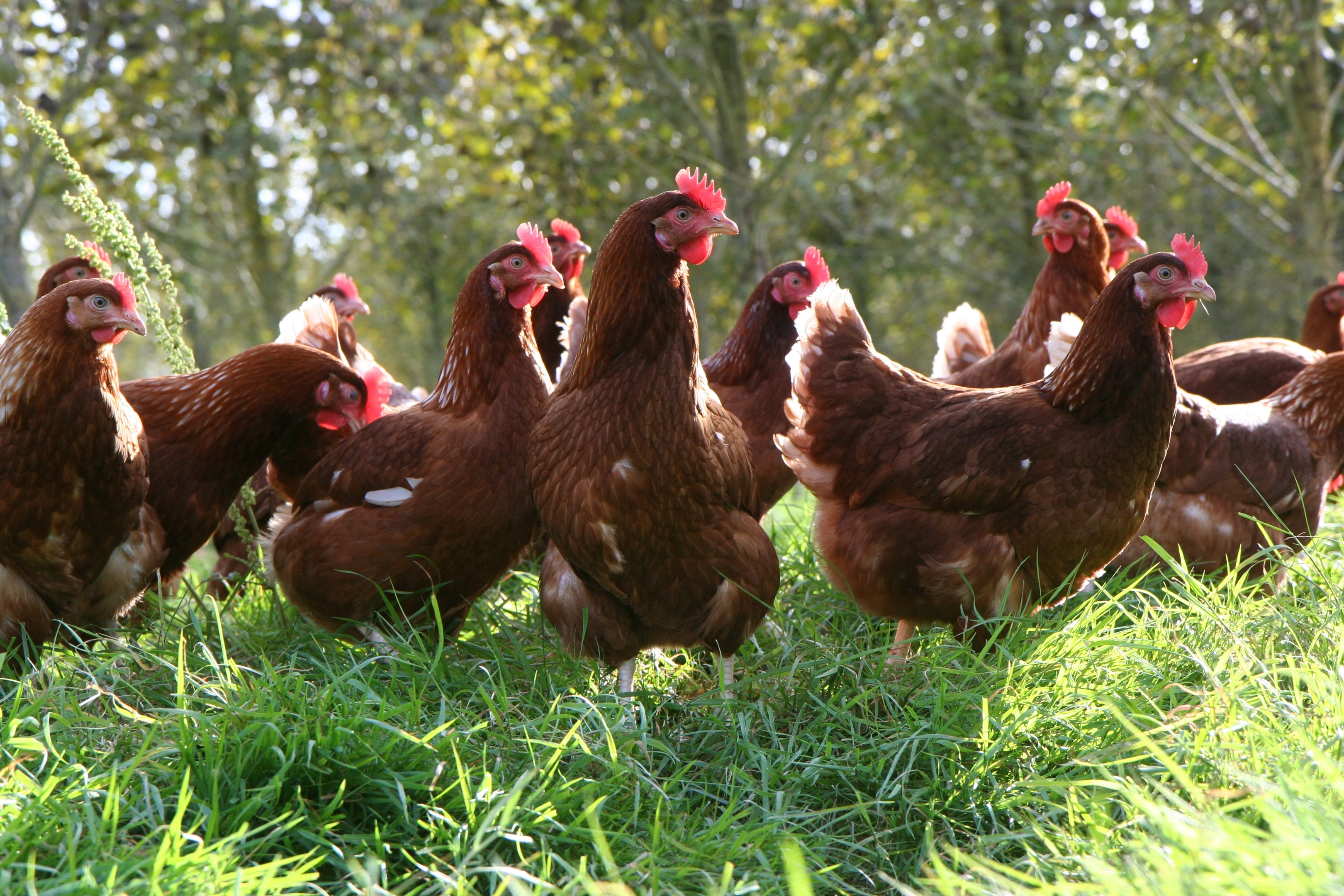 Will retailers pass on the additional costs of producing free-range eggs to their customers?