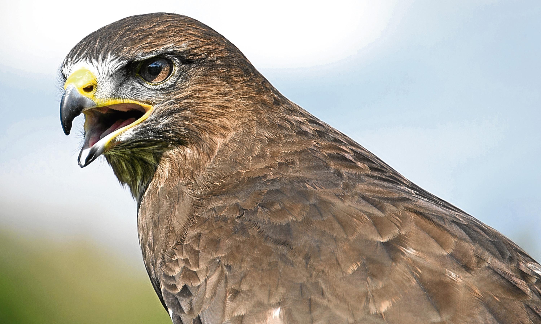 A young buzzard