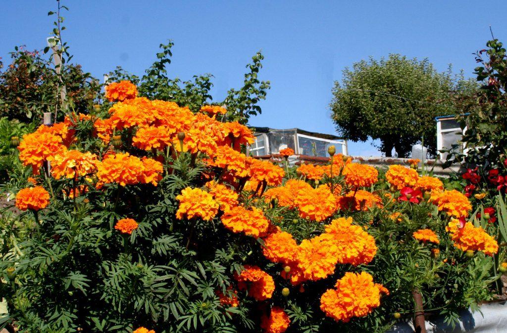 African marigolds