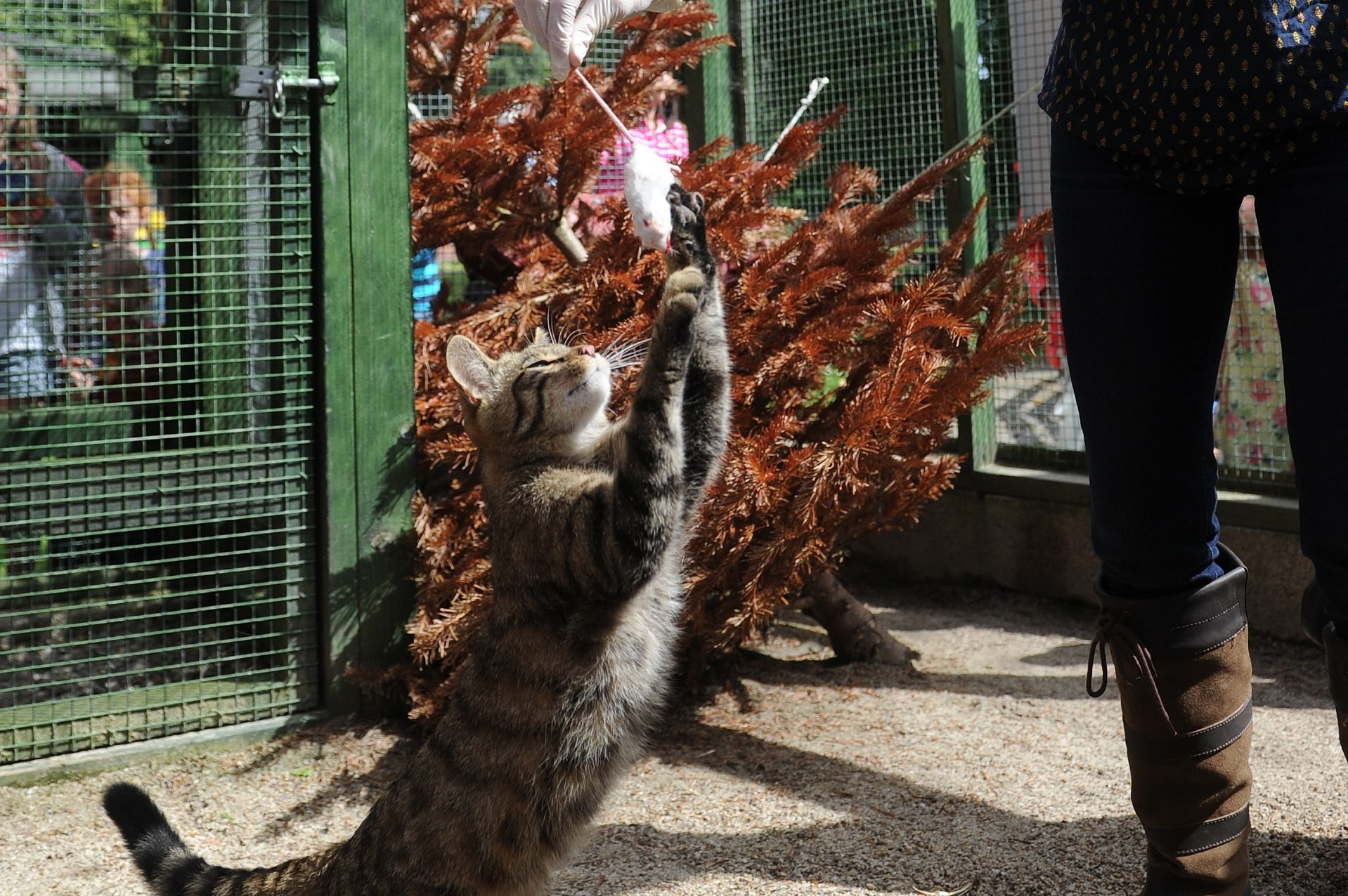 Scottish wildcat feeding time at Camperdown Zoo, Dundee