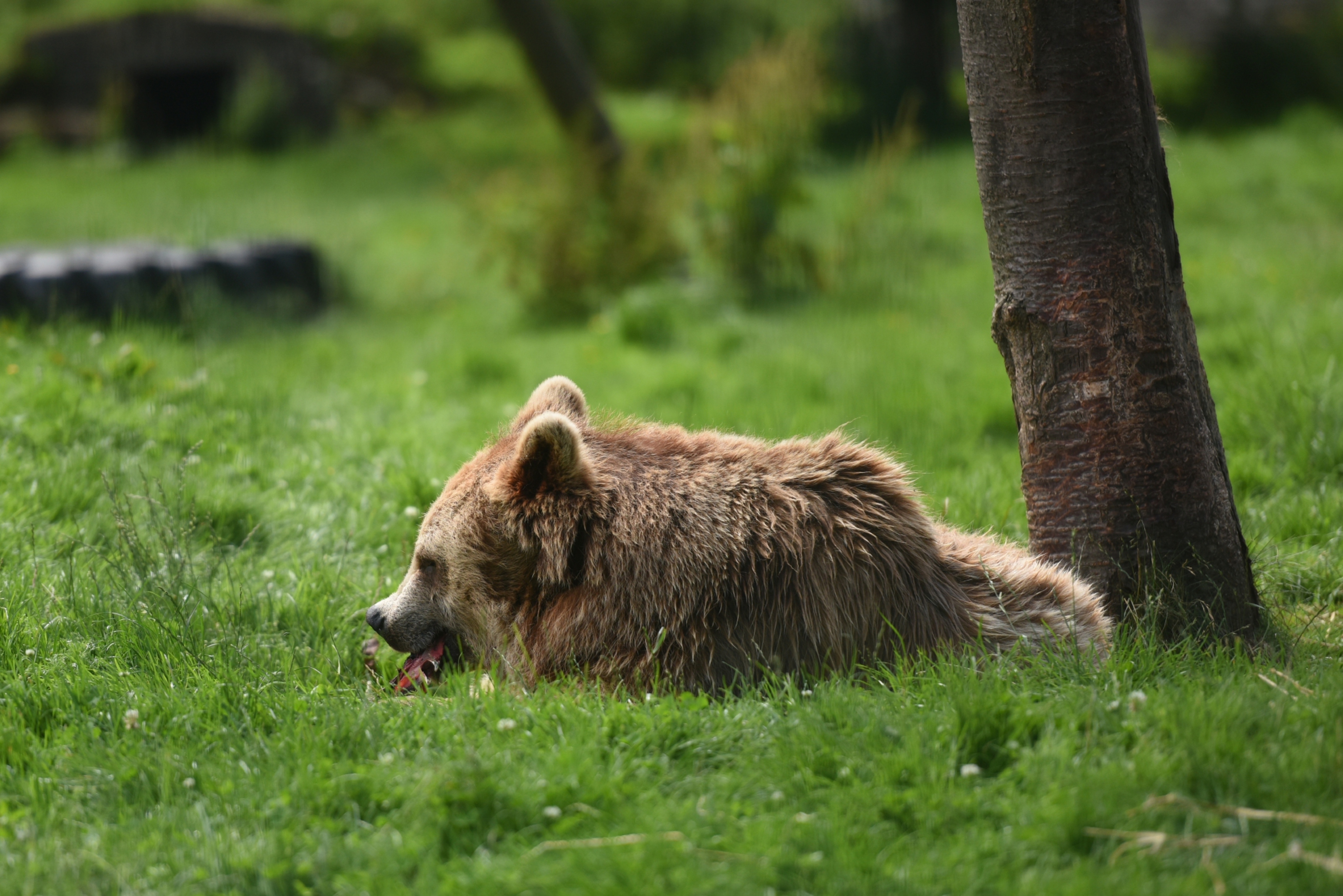 A brown bear at Camperdown Wildlife Centre, is to be joined by three new arrivals.