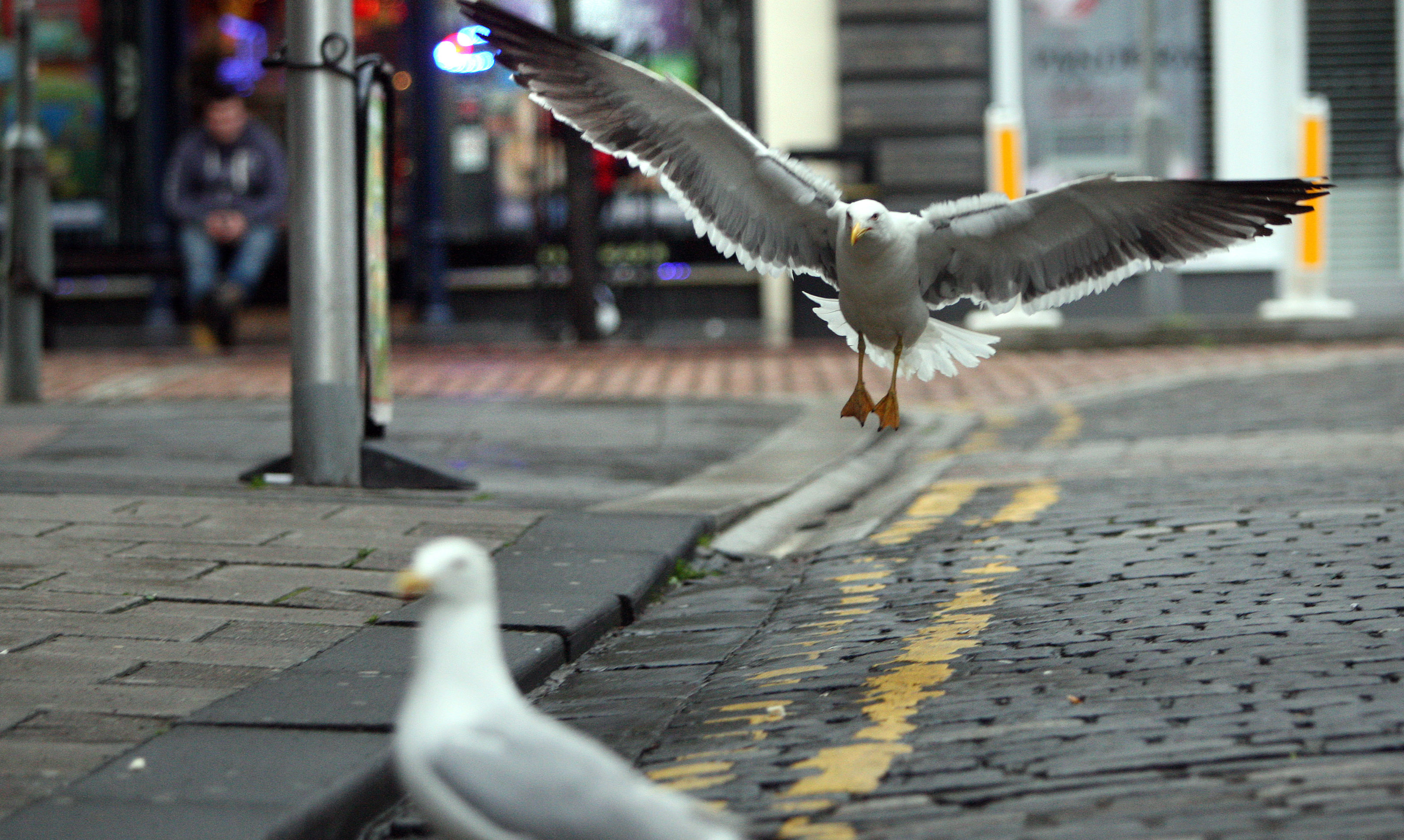 Gulls are becoming more prevalent in urban areas