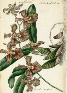 One of the detailed botanic drawings