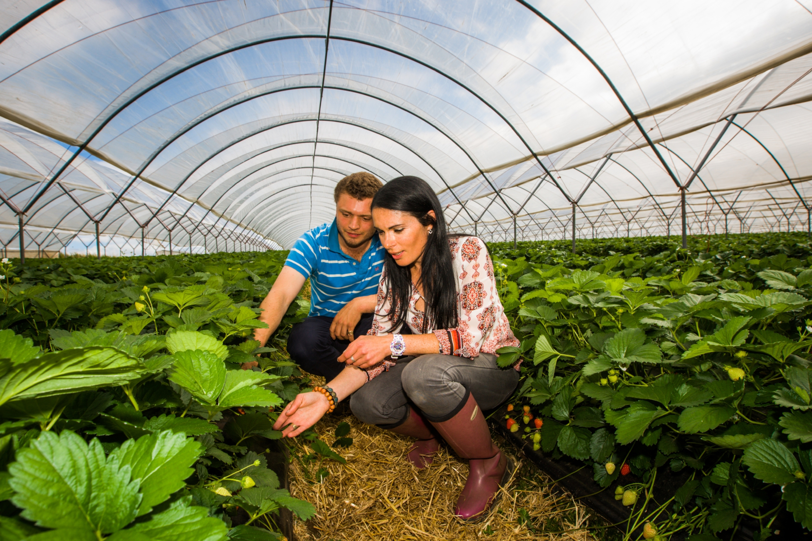 Gayle Ritchie and Charles Beamish search for the perfect strawberry inside a polytunnel.
