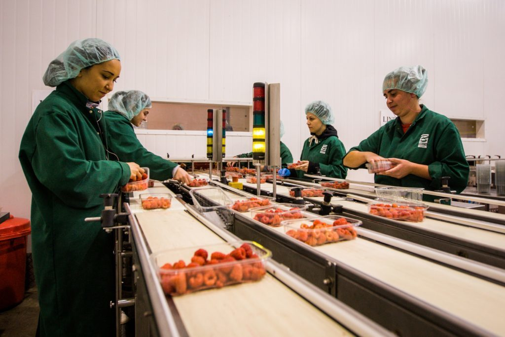 Workers packing raspberries in the packing hall.