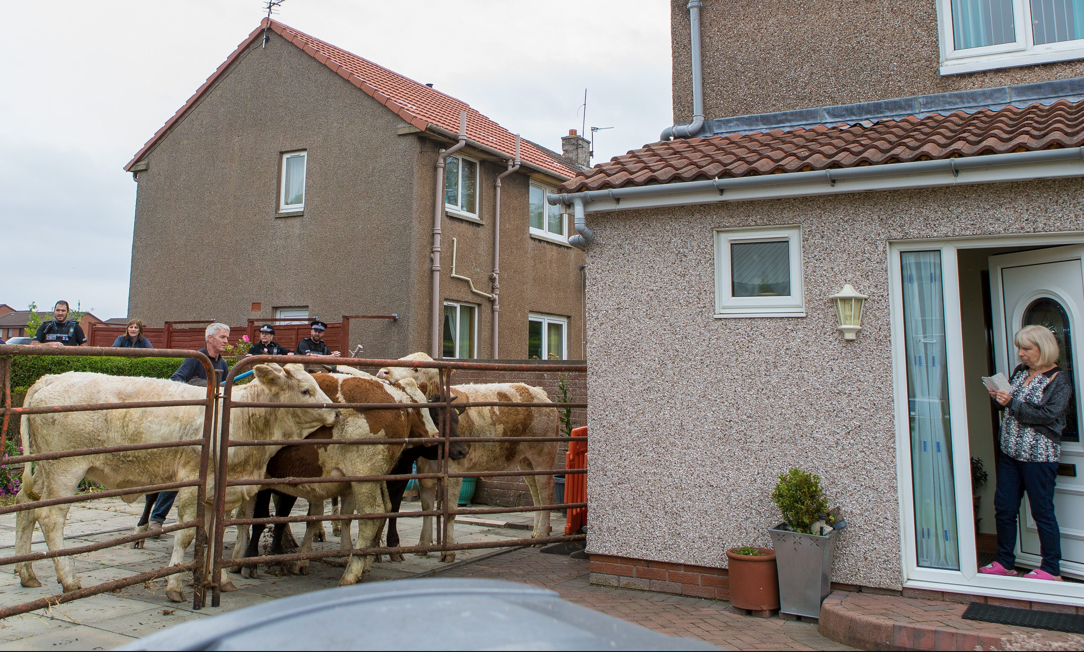 A driveway in Kirkcaldy becomes a temporary farmyard as the animals are rounded up.