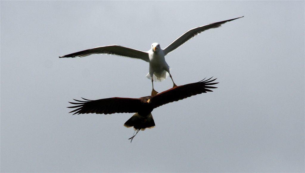 Sisco, a bird of prey, with a gull