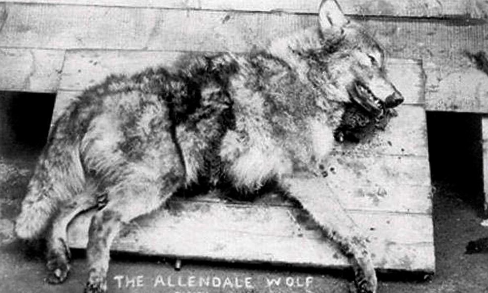 The wolf that was killed on the London to Scotland railway.