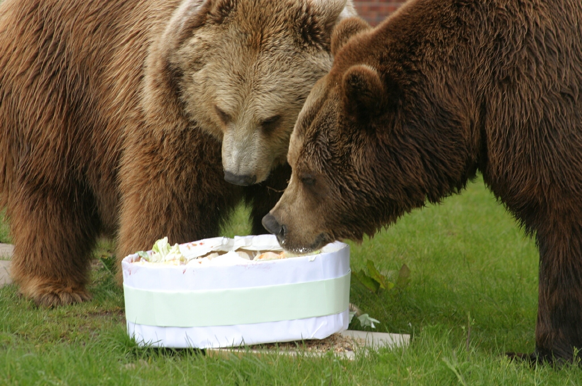 Pictured at Camperdown Park, Dundee, 20th May 2006, is Comet (right), the European Brown Bear, enjoyed a cake for his 20th birthday, with fellow bear Star hoping to get some scraps.