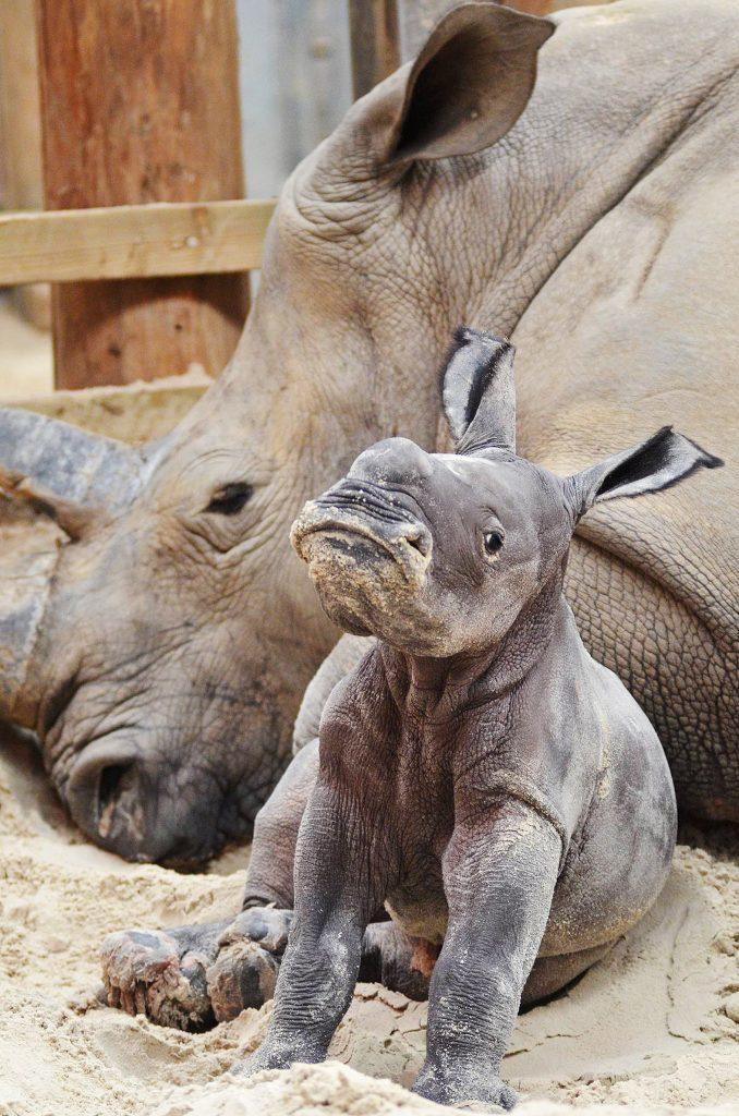 White rhino calf at Blair Drummond Safari Park