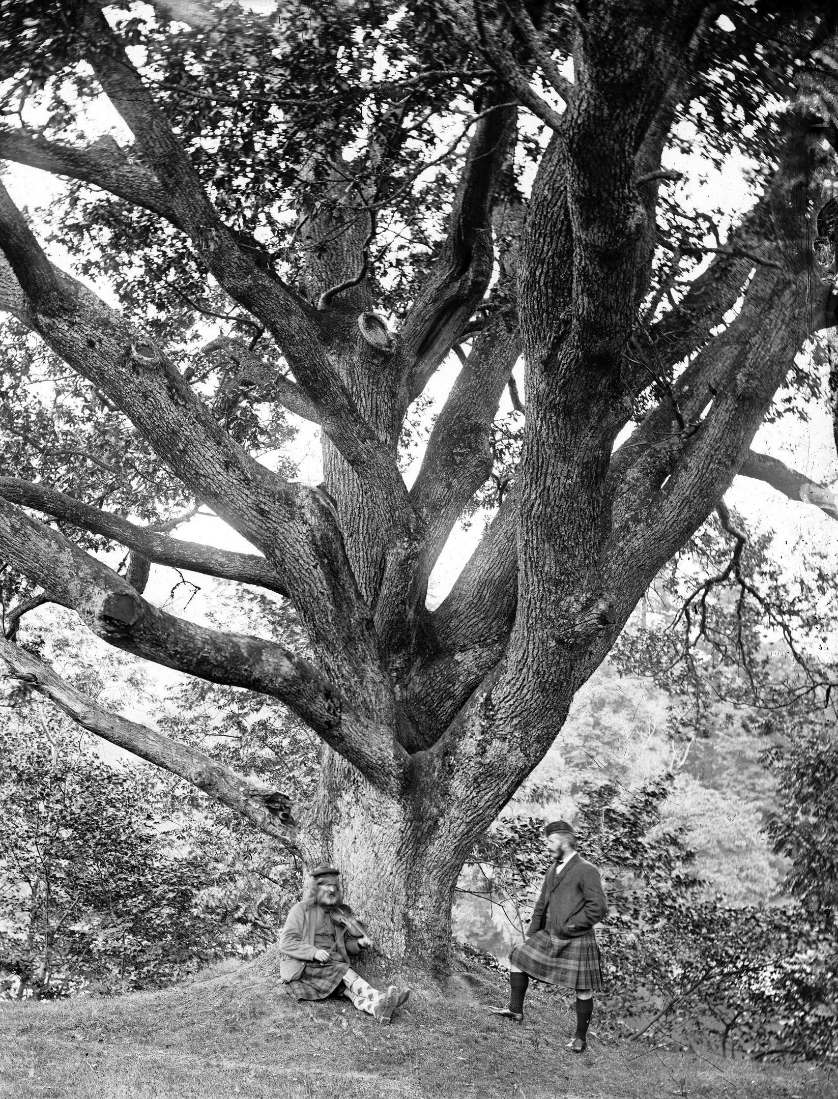 Niel Gows Oak in Dunkeld