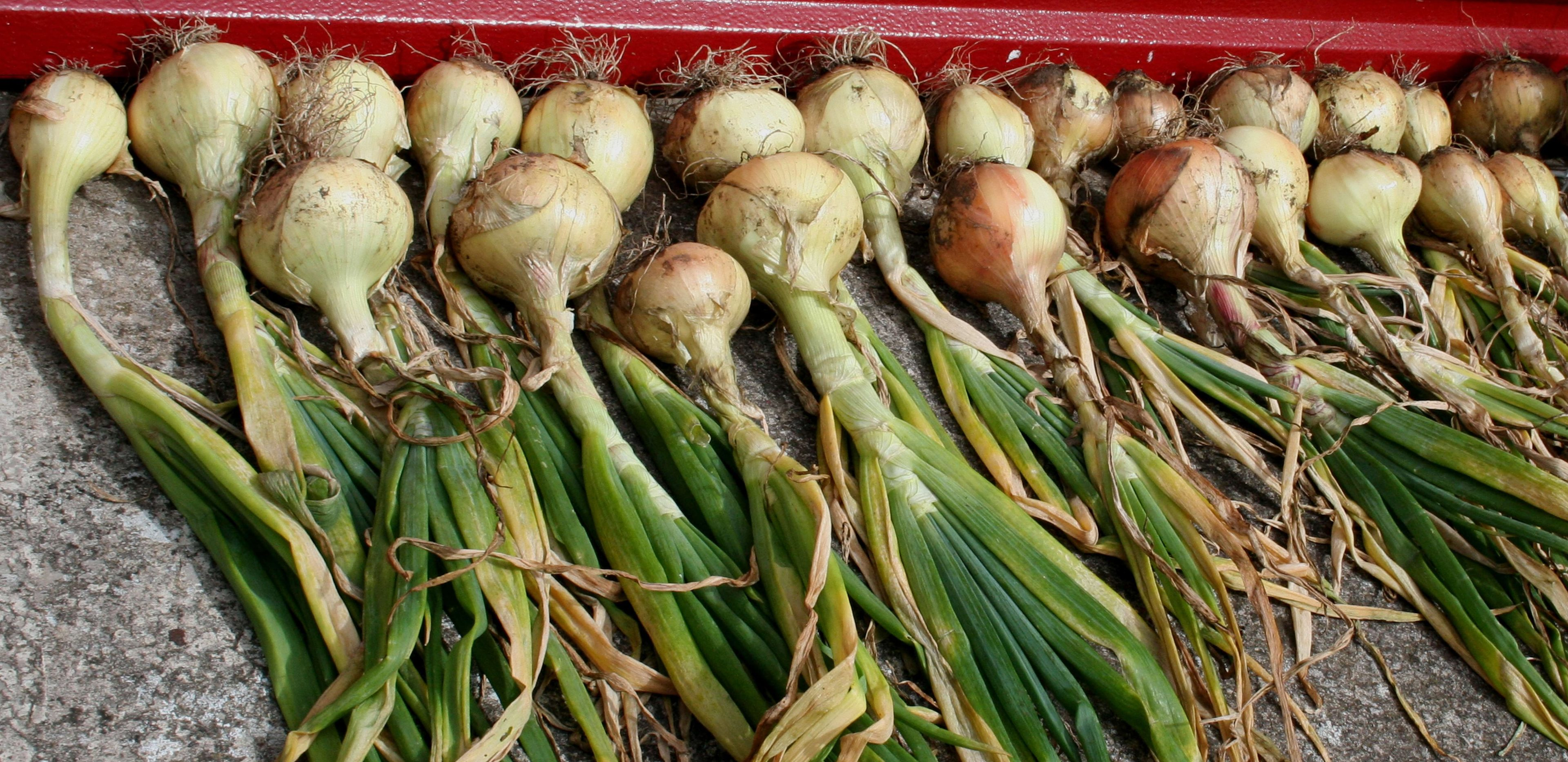 Ripening off the onions