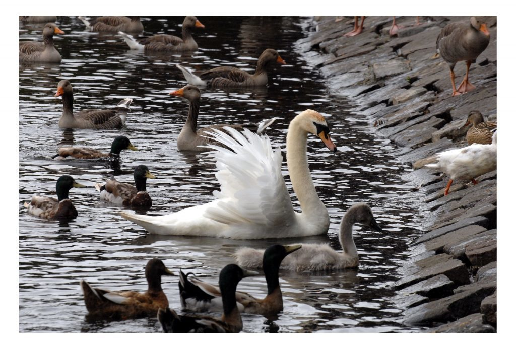 Swans and ducks are popular draws for the public at Beveridge Park.