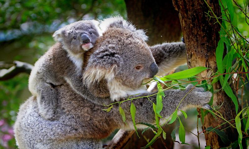 Koalas Adelaide Zoo