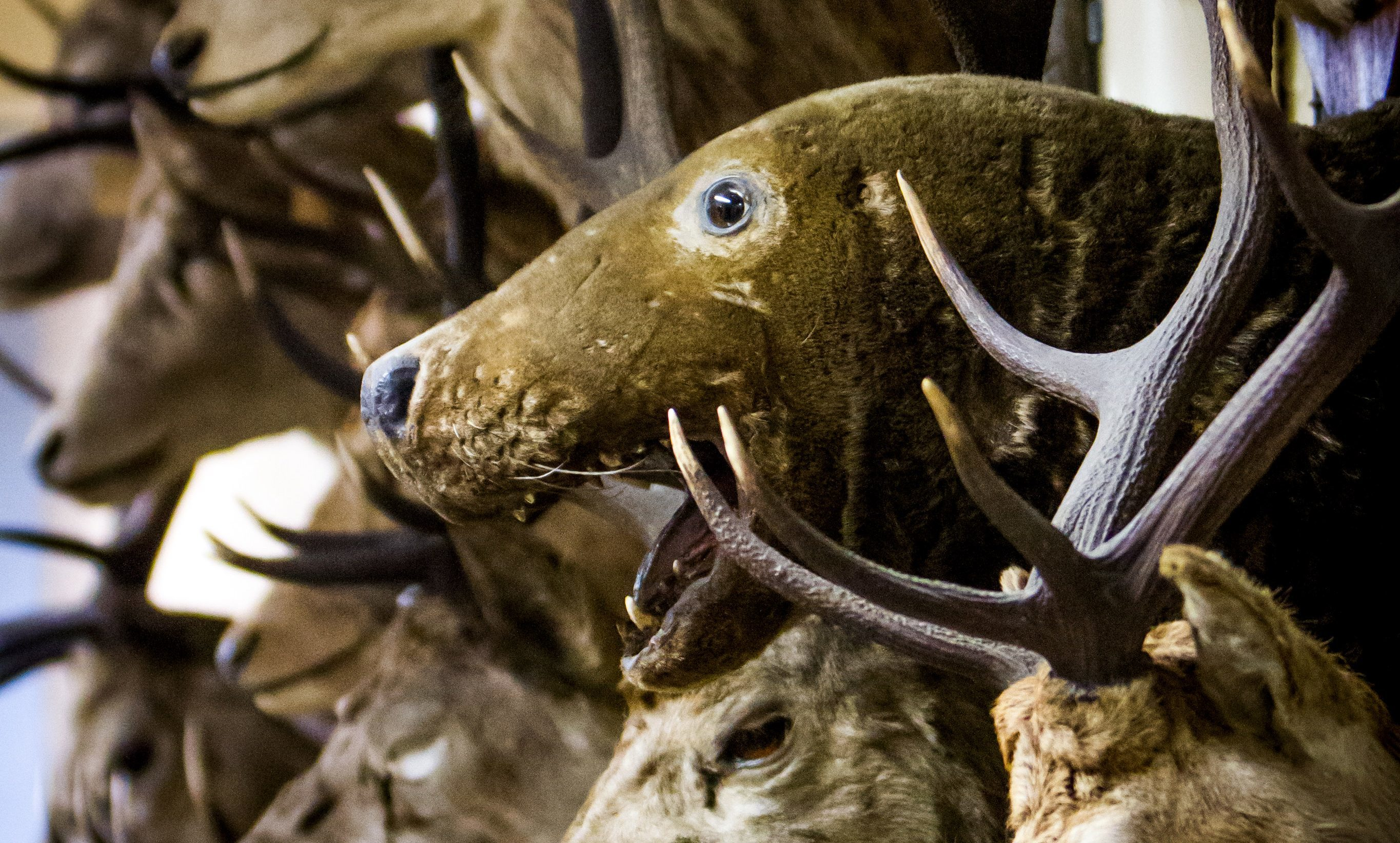 A wall of animal heads is among the vast collection.