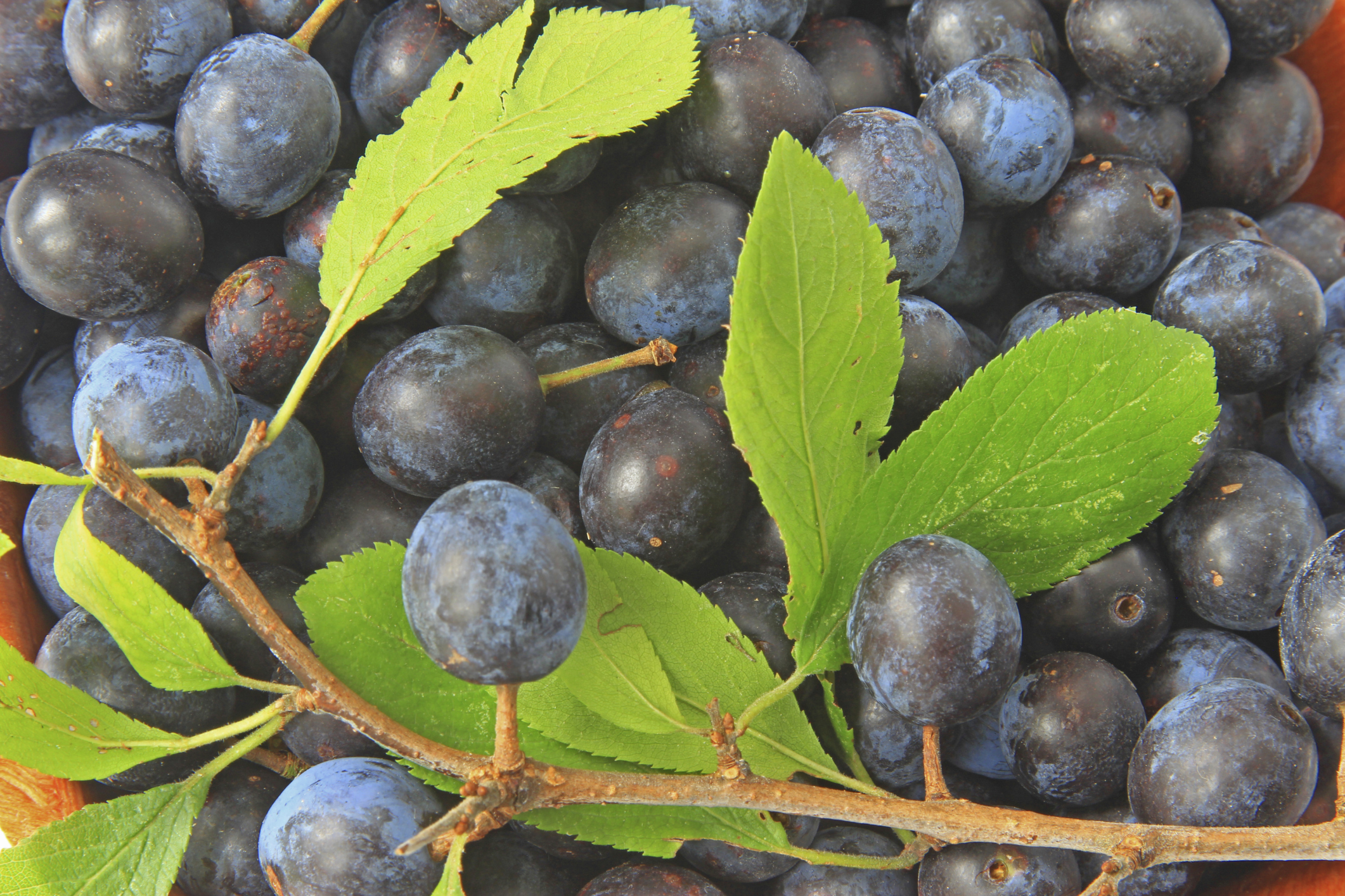 Blackthorn bushes have been hit by the pocket plum fungus resulting in a poor sloe harvest