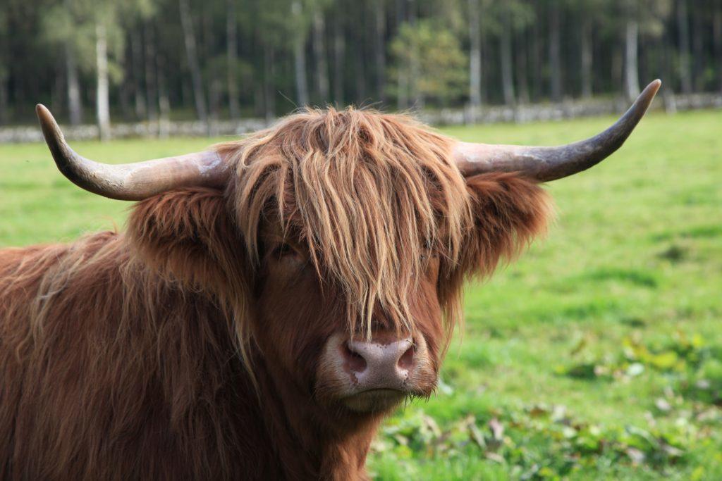 Highland cow near the accomodation at Balbinny.