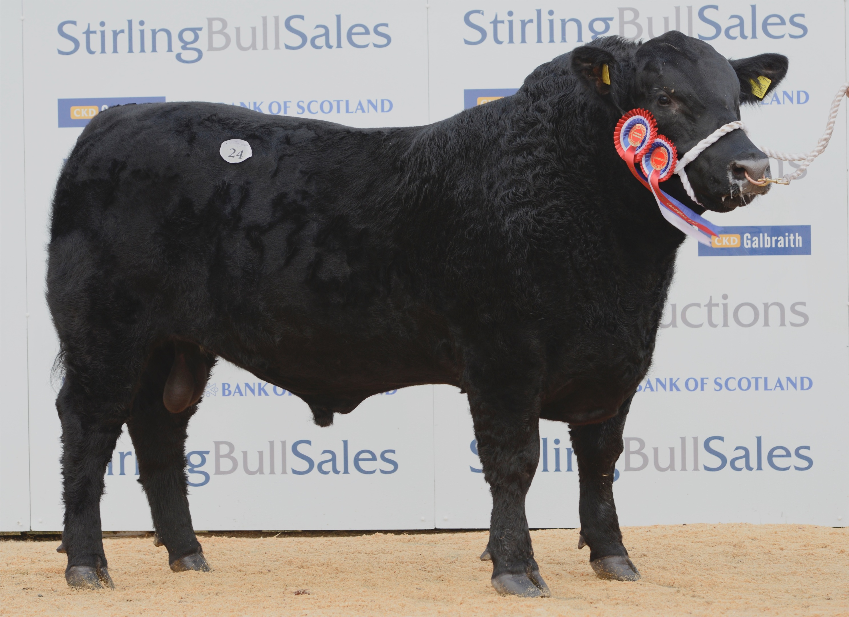 The champion is a modern, smaller type of Angus bull
