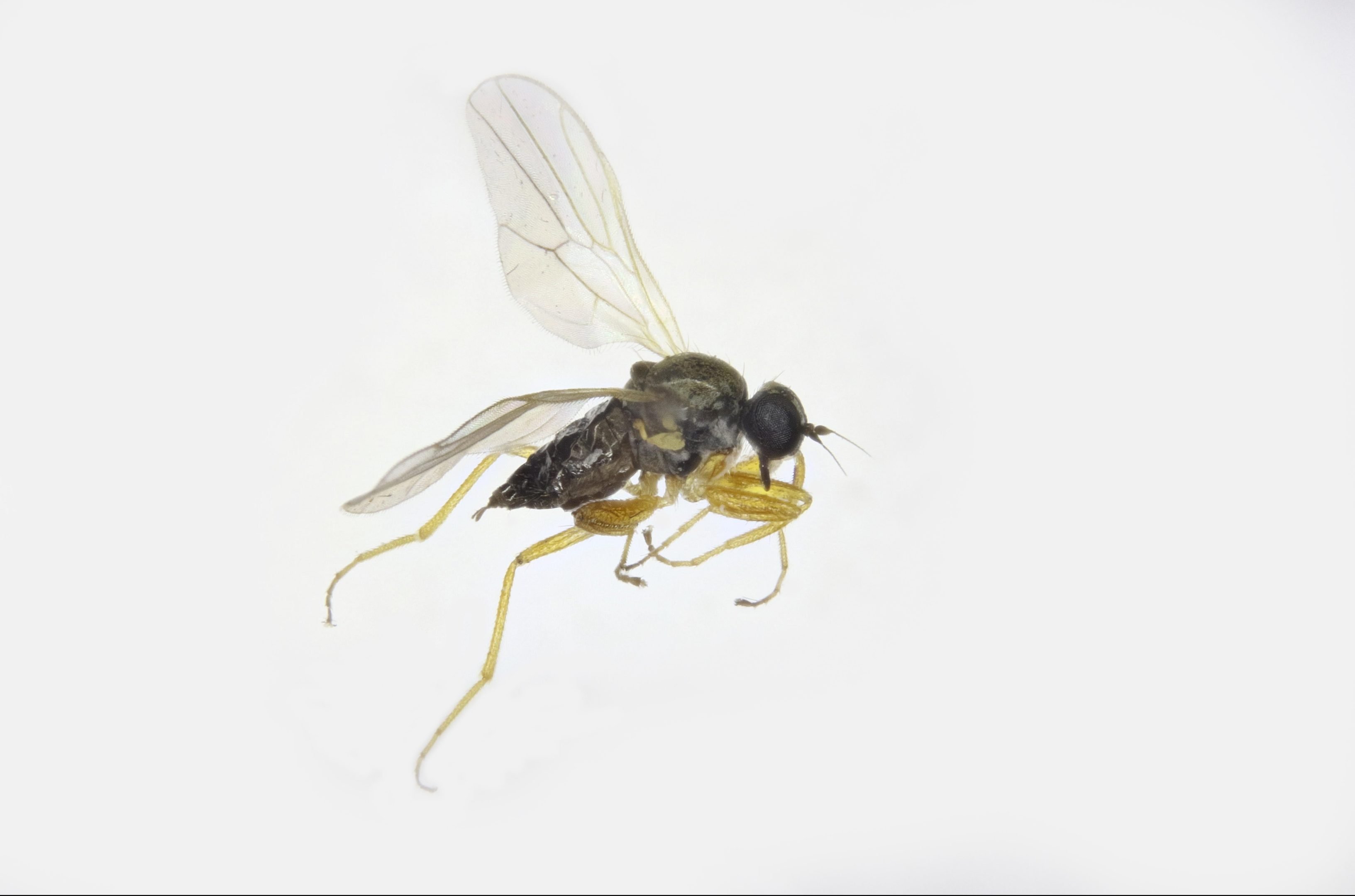 The fly discovered in Perthshire.