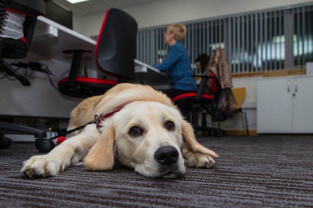 Vets Now's Dunfermline contact centre has a pet-friendly policy. Golden retriver puppy Lissa is happy to chill out during the late shift.