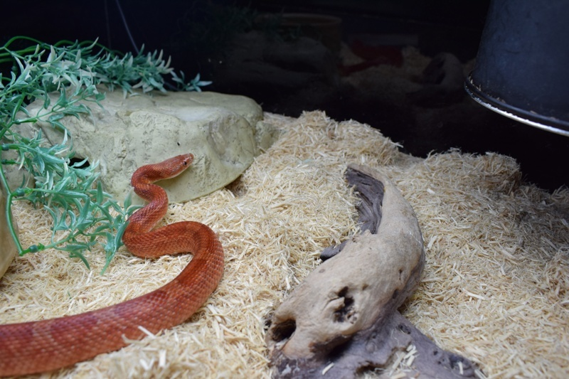 One of the snakes, named Shisha, that was found abandoned.