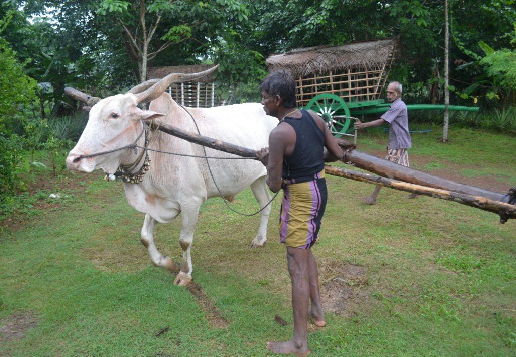 A bull grinding coconut oil at family-run farmhouse in Bandaragama, Sri Lanka. See PA Feature