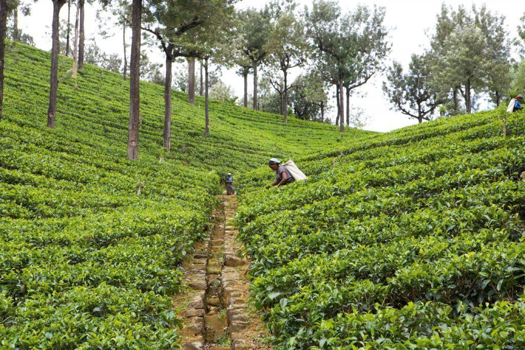 Fields of tea leaves at Raigam Estate in Kiriwattuduwa, Sri Lanka. See PA Feature TRAVEL Sri Lanka.