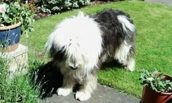 Daisy the sheepdog.