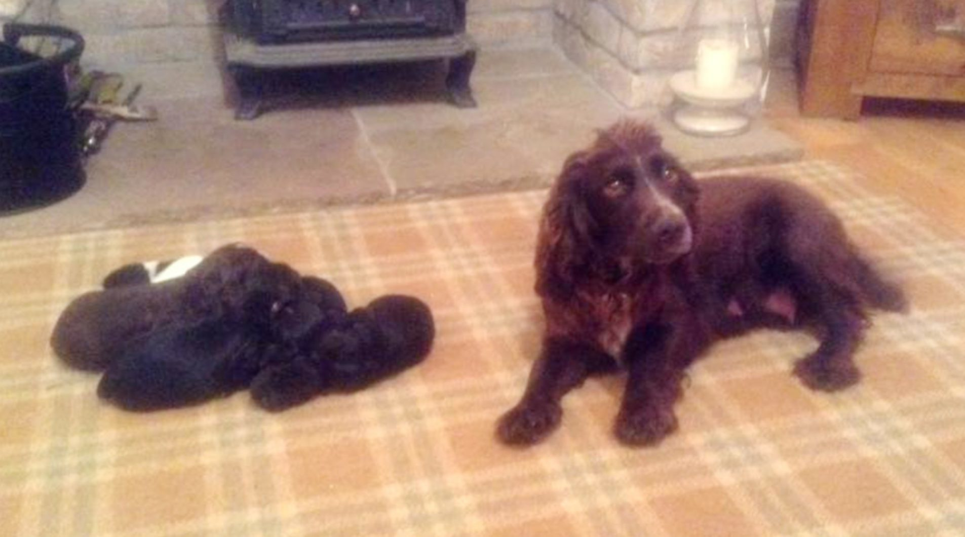 The cocker spaniel and her puppies.