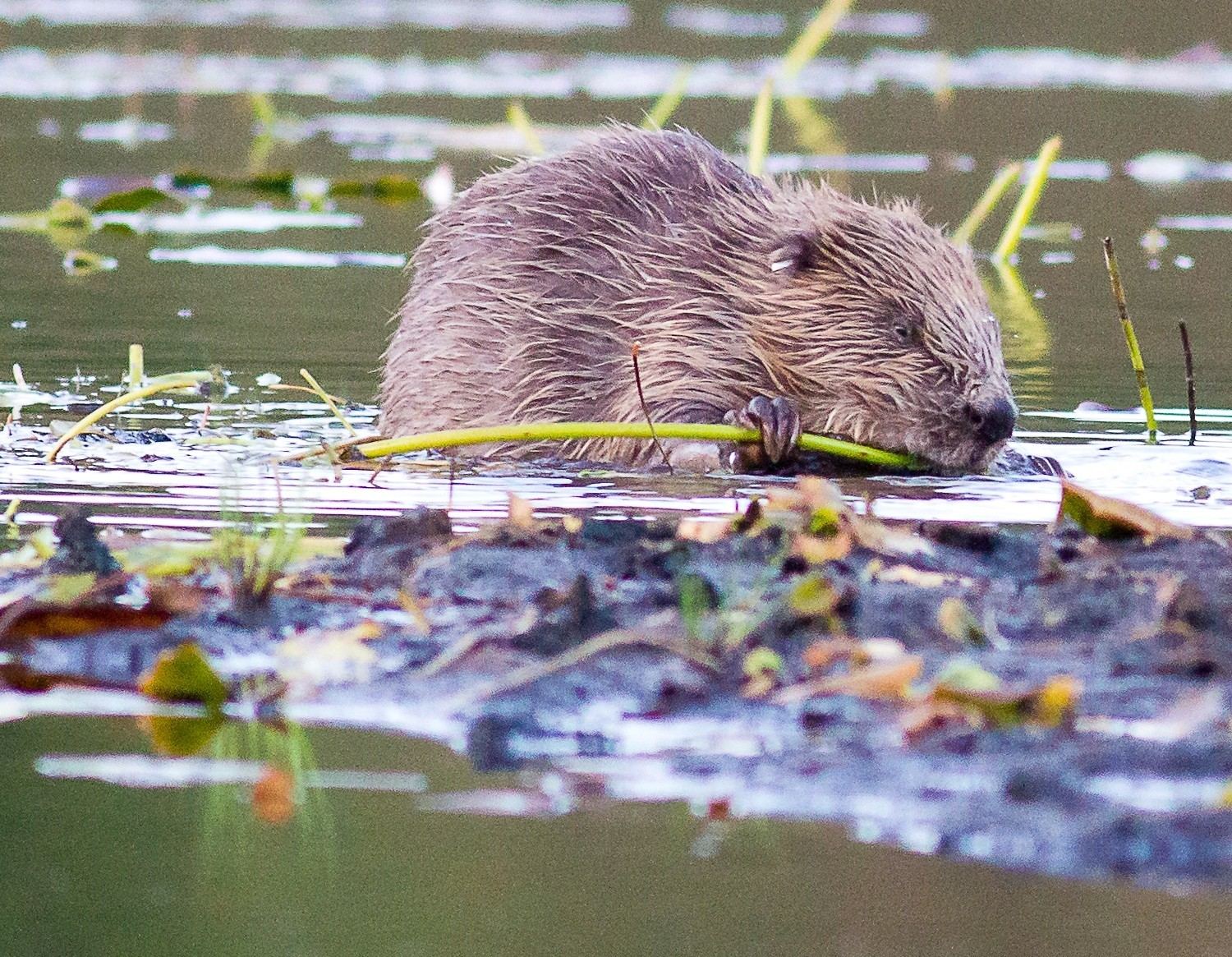 Further unauthorised releases of beavers will be a criminal act