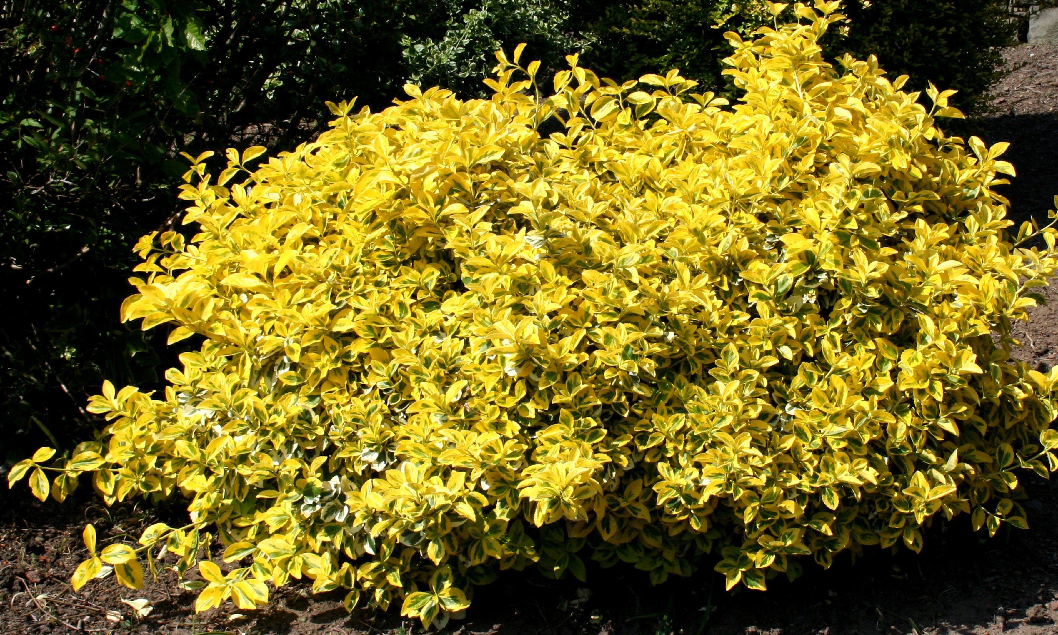 Euonymus-emerald-n-gold