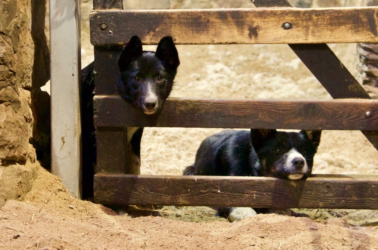 Midge and Roy in the sheep fank at Armadale