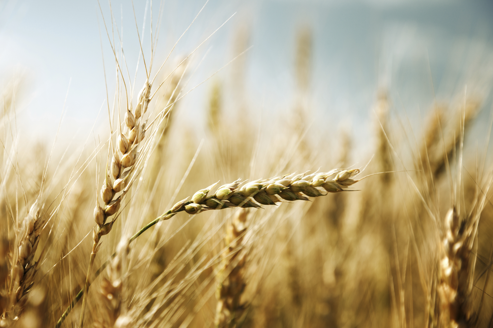The new varieties have improved yields, disease resistance and earlier maturity