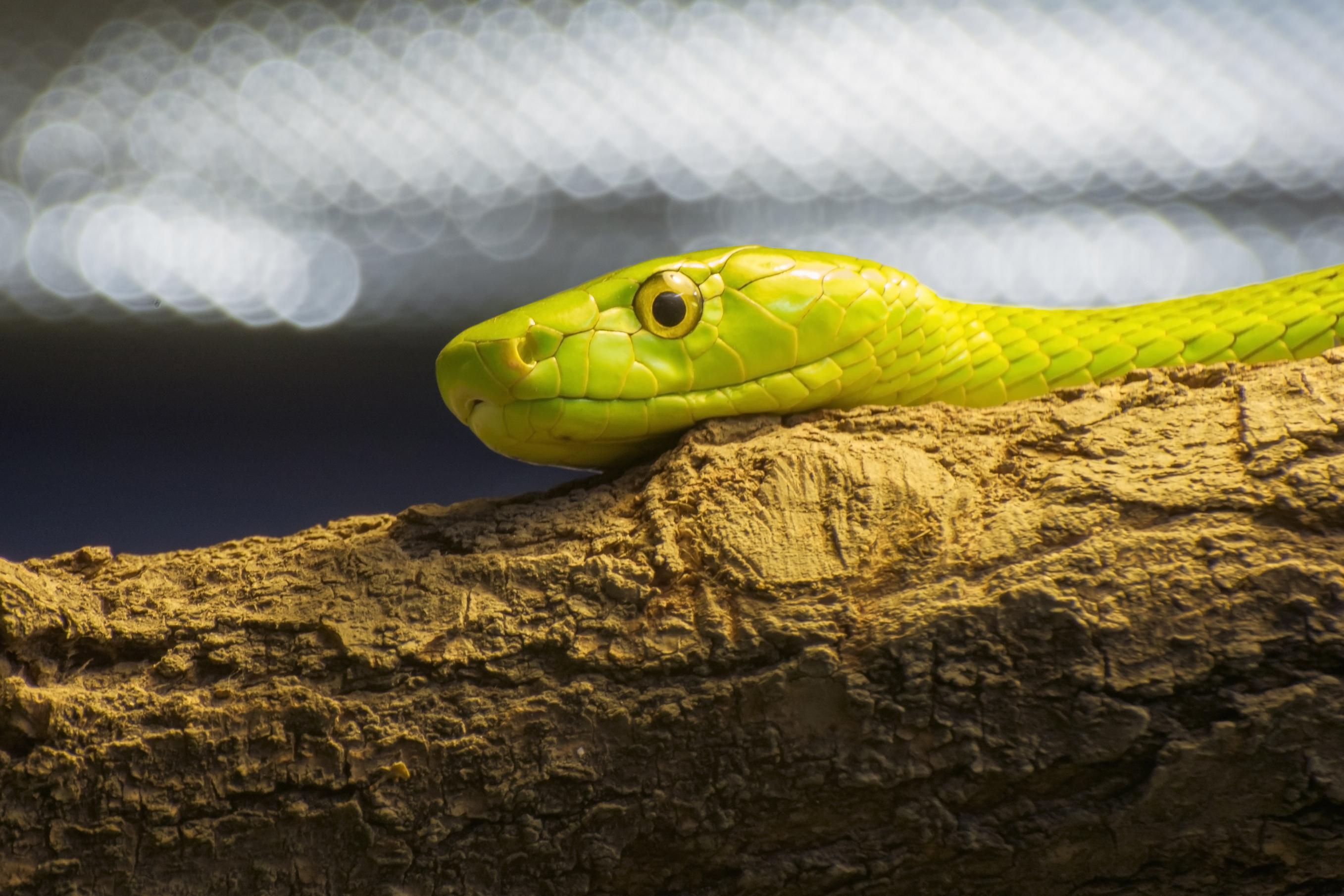 A western green mamba snake.