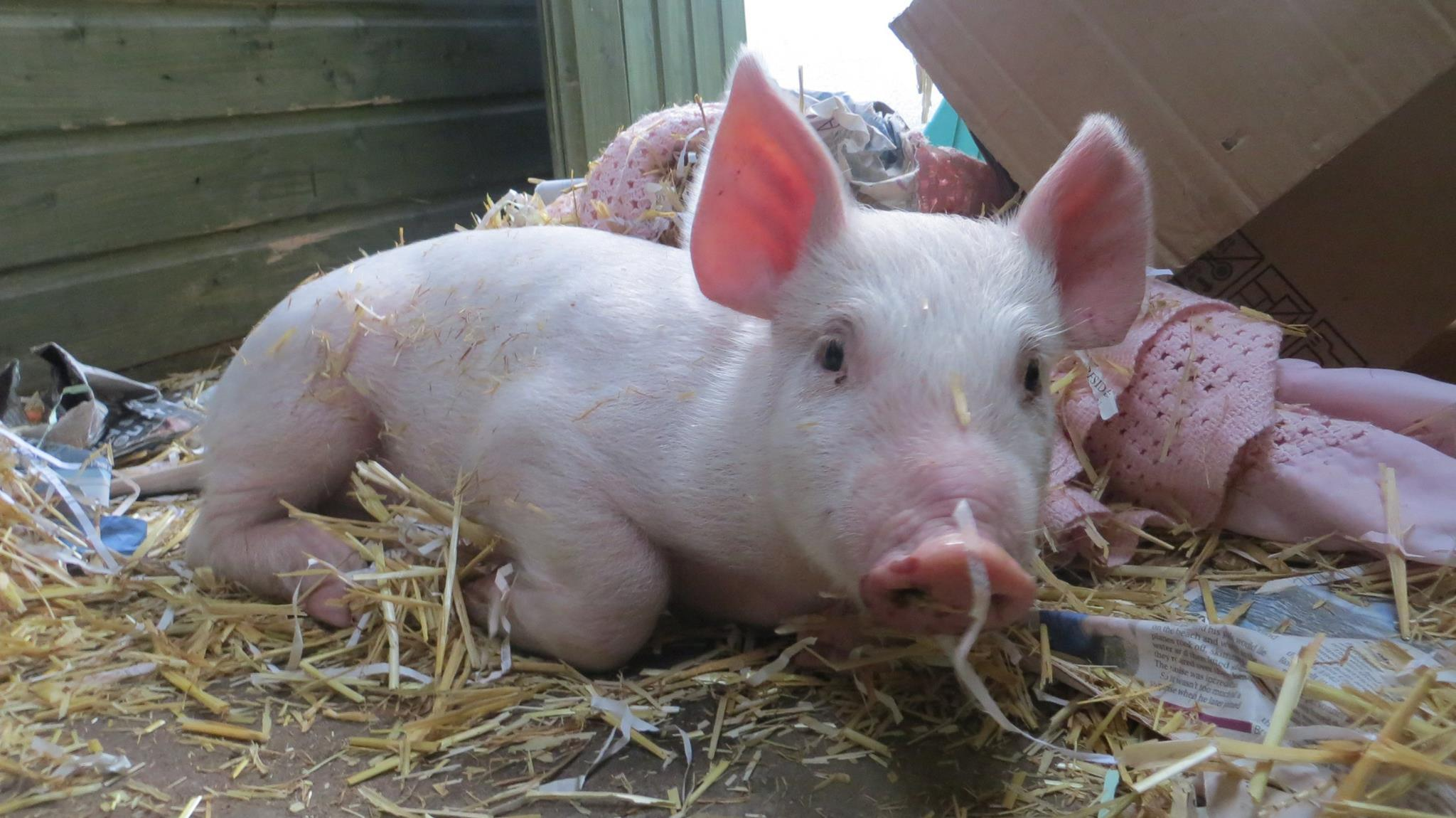 Scottish SPCA chiefs now hope to find a forever home for the piglet.