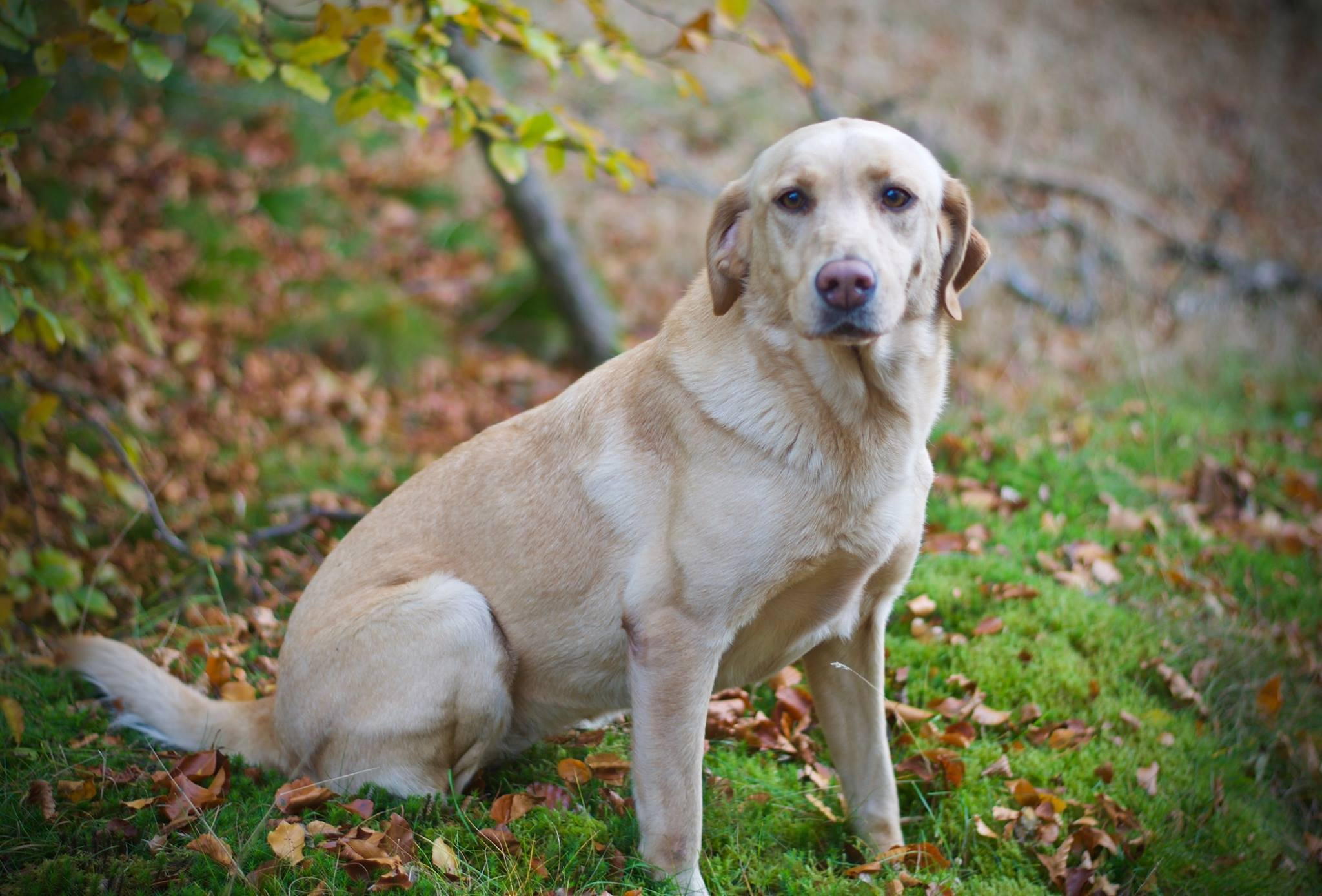 Dee the yellow Labrador has uncovered £400,000 of drugs over the last six years.