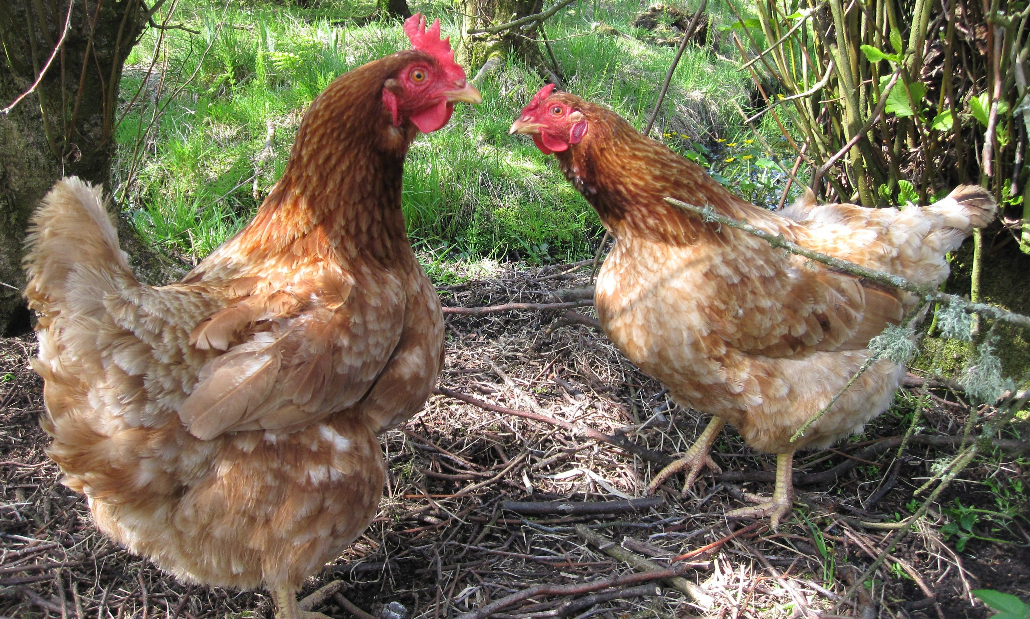 Eggs from birds kept indoors due to the threat of disease lose their free-range status after 12 weeks.