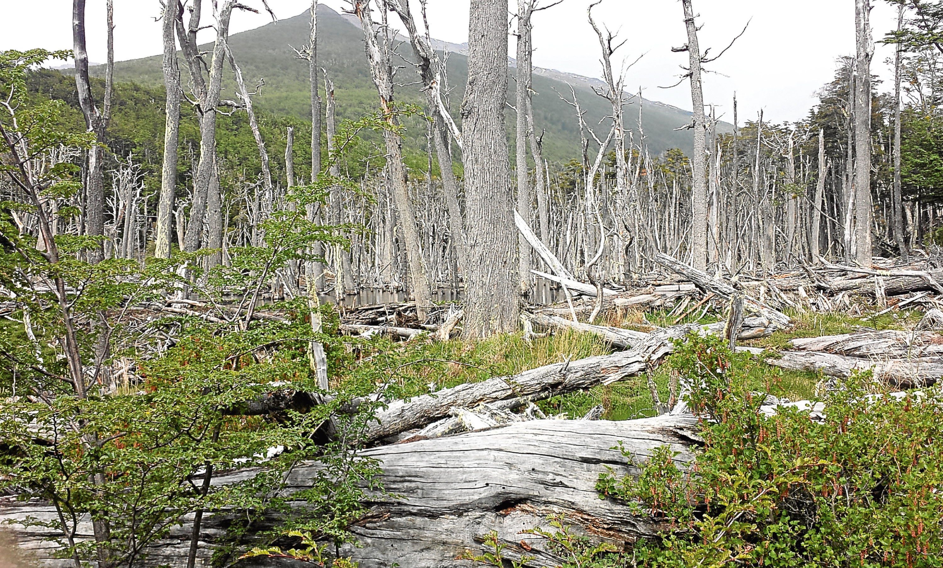 Beaver damage to trees in Argentina 2016.