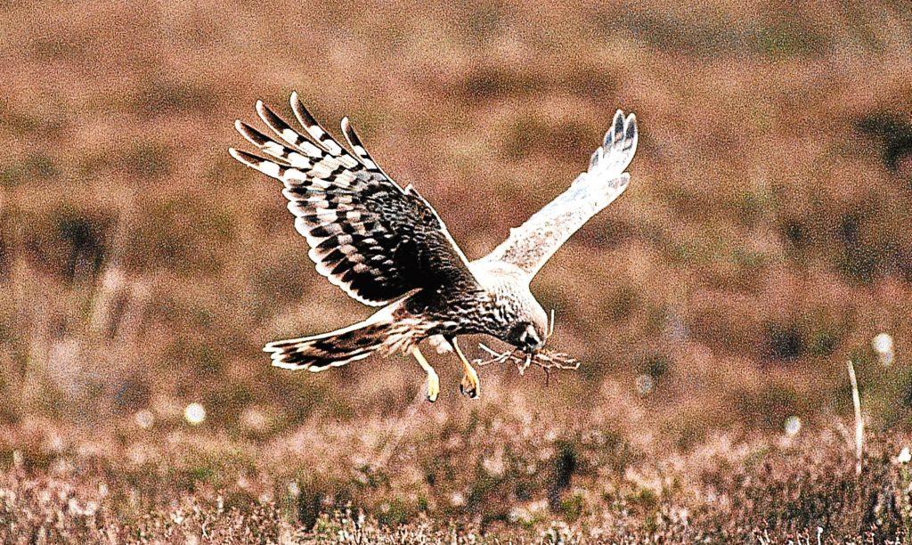 A hen harrier swoops over moorland.