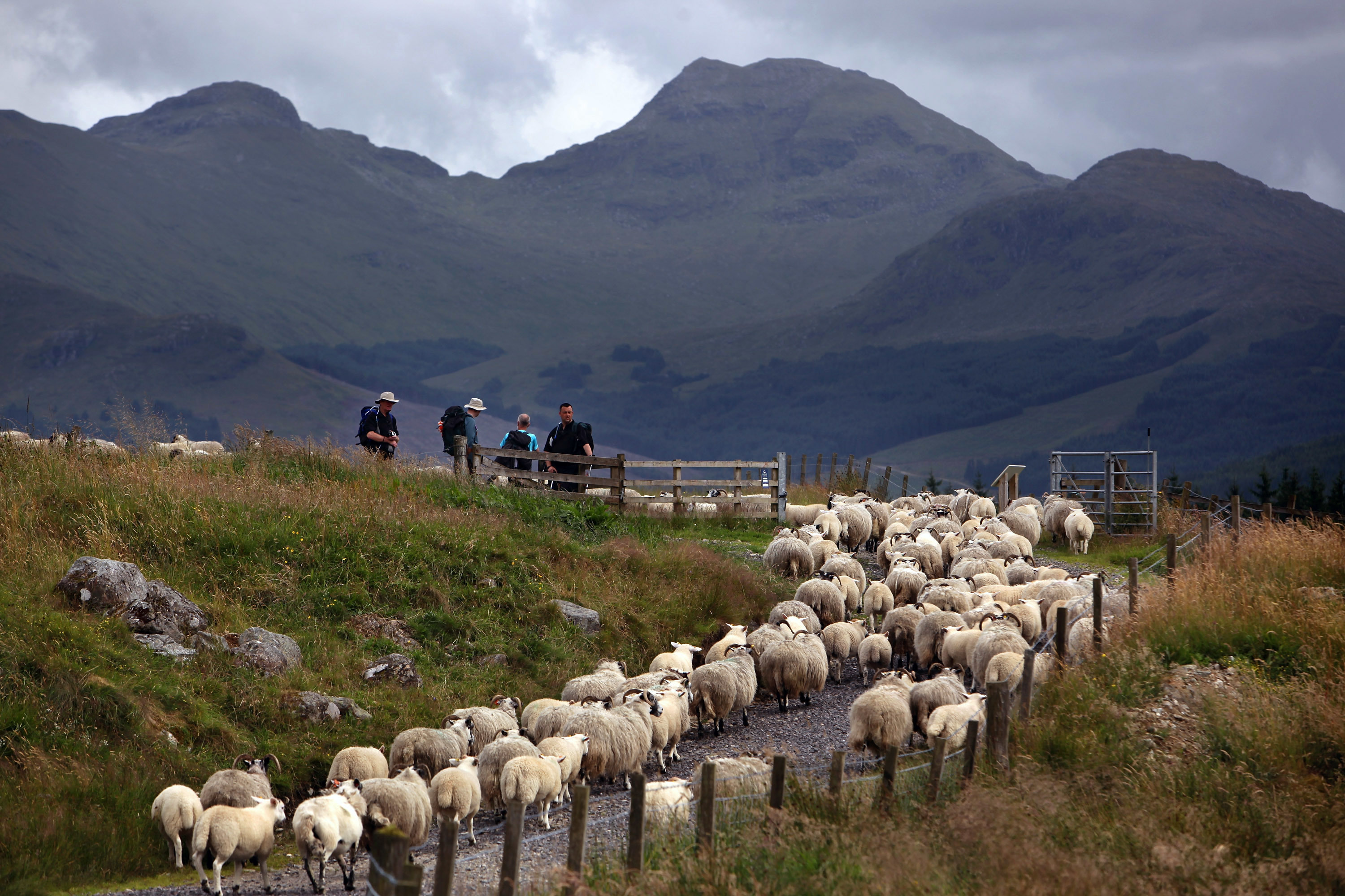 Sheep farming has an impact on landscape and tourism