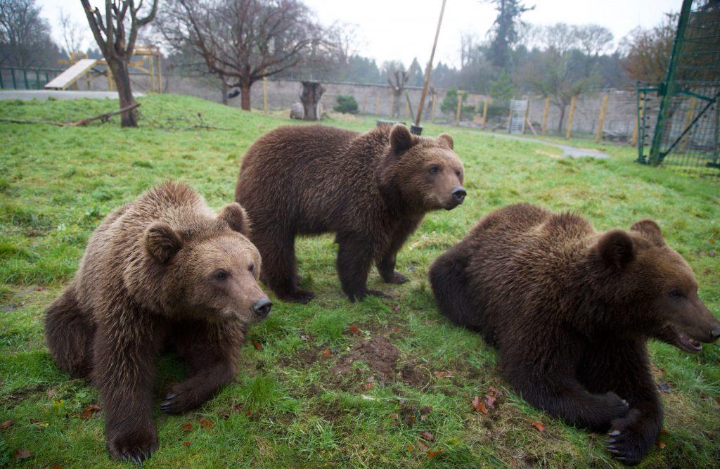 Camperdown's three new bears.