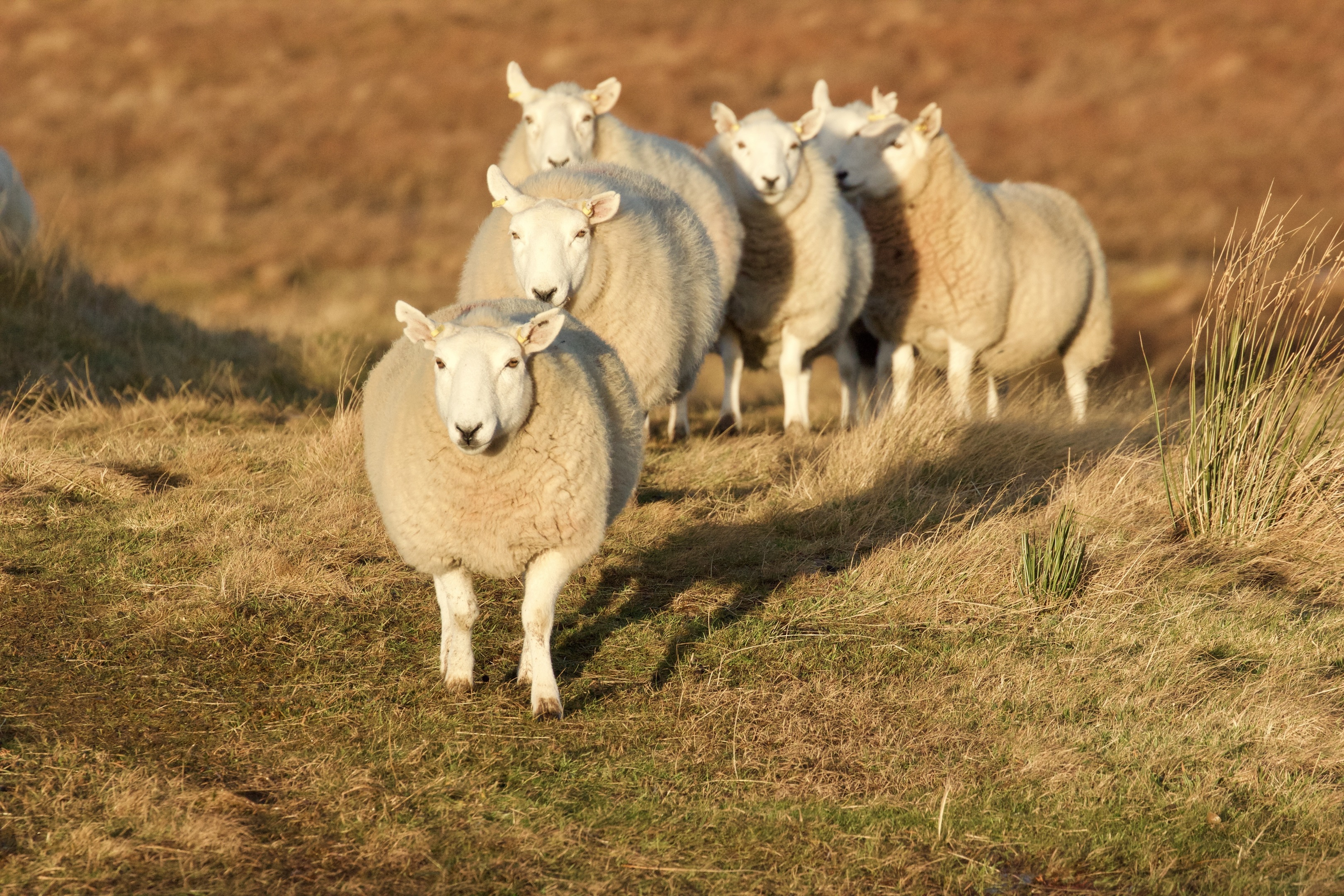 One of the research projects will focus on finding a test for tickborne fever in sheep