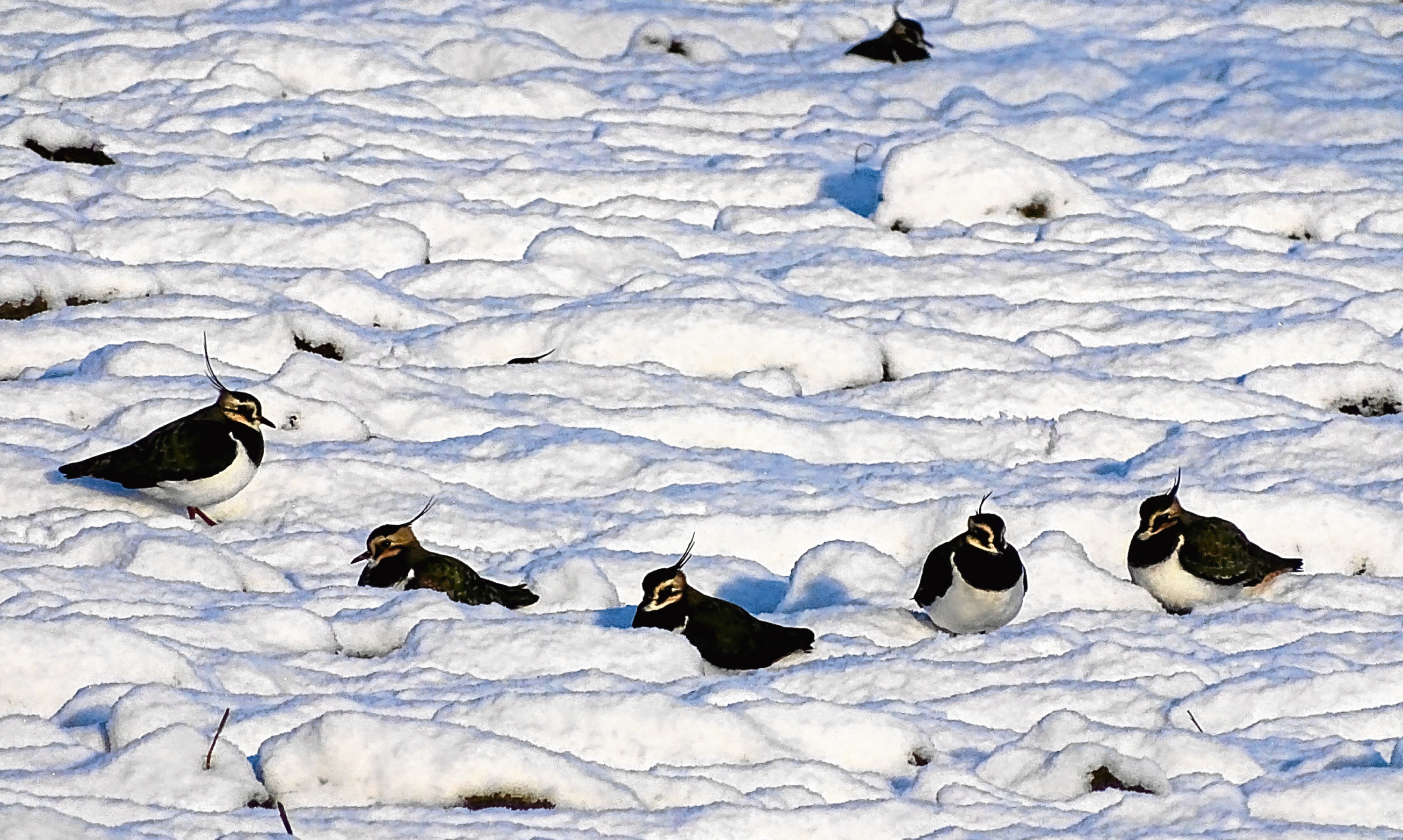 Lapwings mysteriously hunkered down in the snow on Flanders Moss.