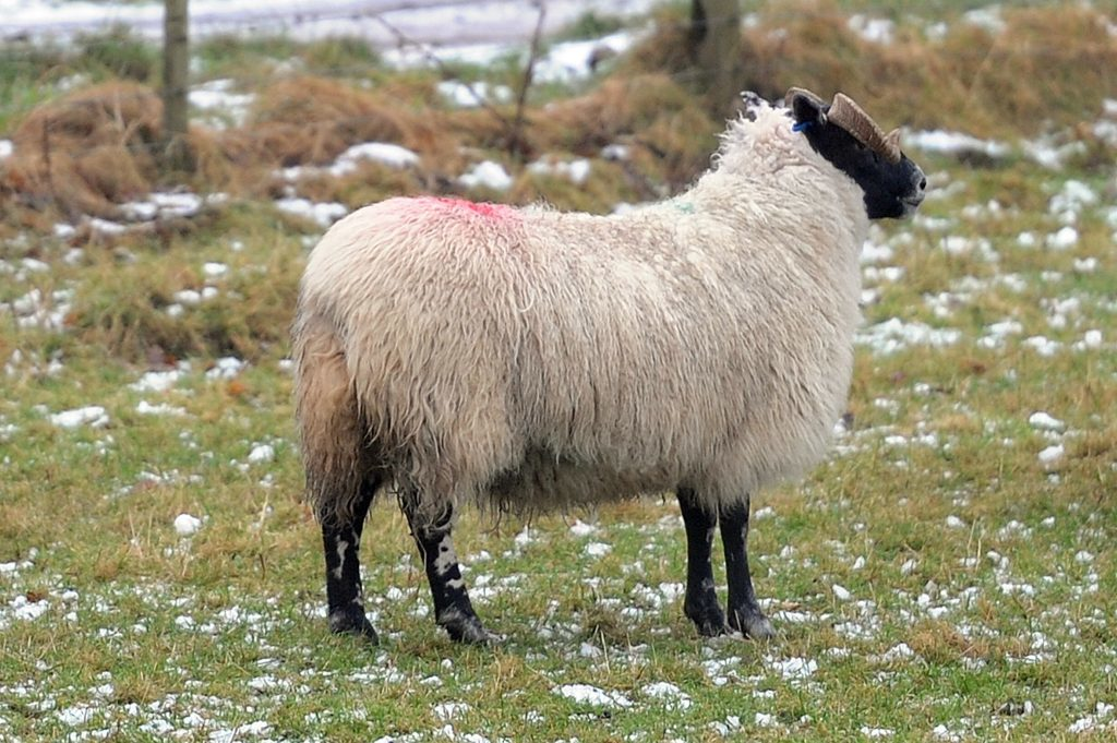 Among the animals badly hurt was the ewe that secured 1st prize and the title of Gimmer and Lanark Type Blackie Reserve Champion at the Perth Show. It is now lame on it's back right leg.
