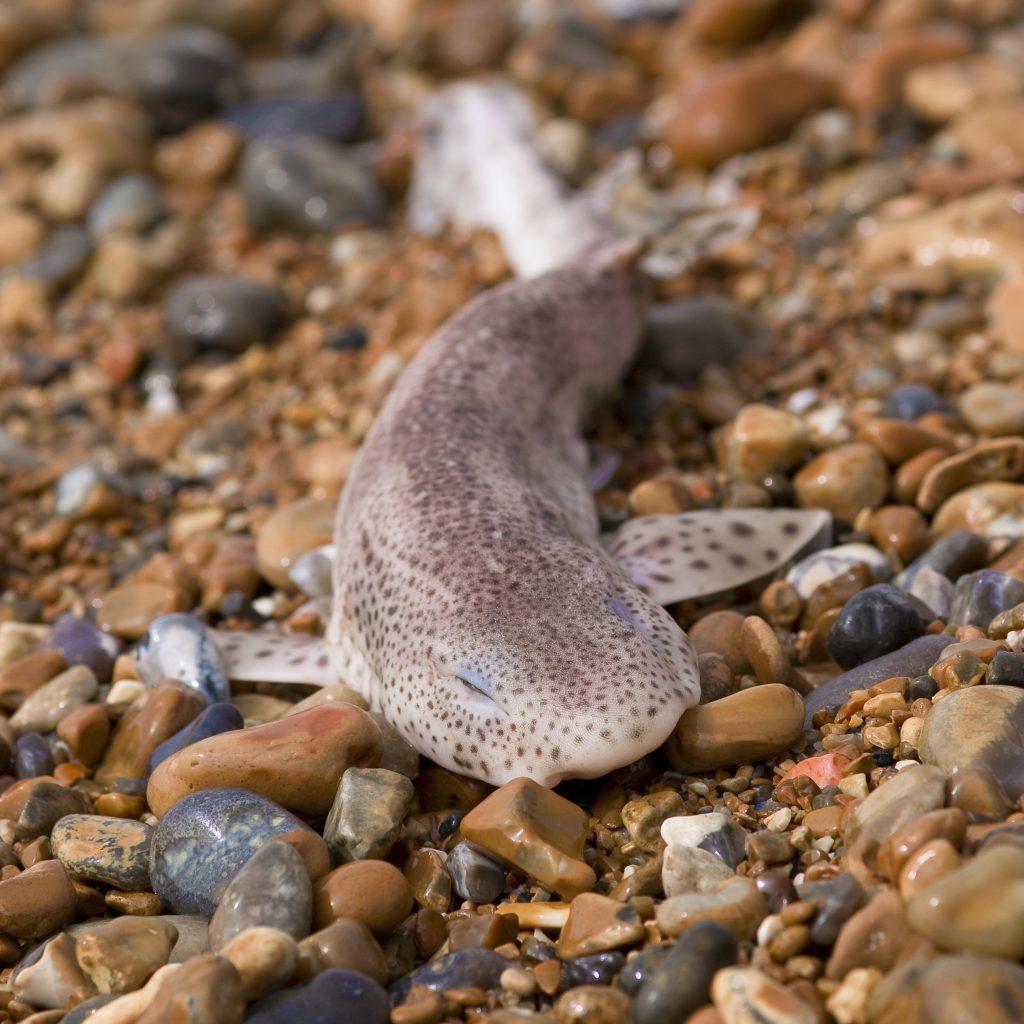 Dead dogfish on shingle beach, Hastings, UK