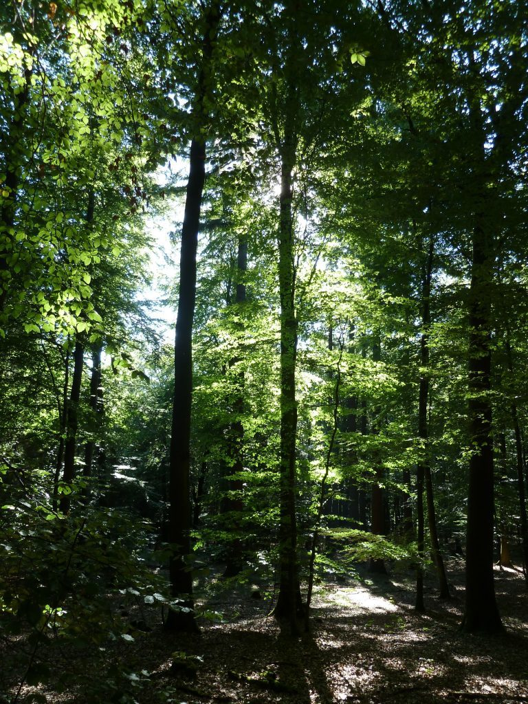 Spruce and beech fight for supremacy in the national park.
