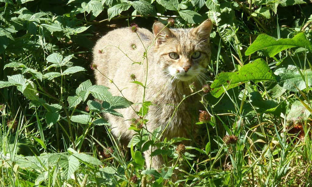 A wildcat from the national park's captive breeding programme.