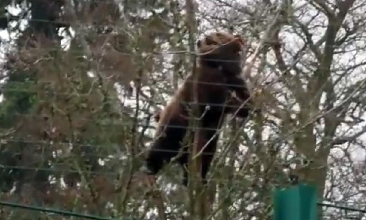 Brumma the bear goes climbing.