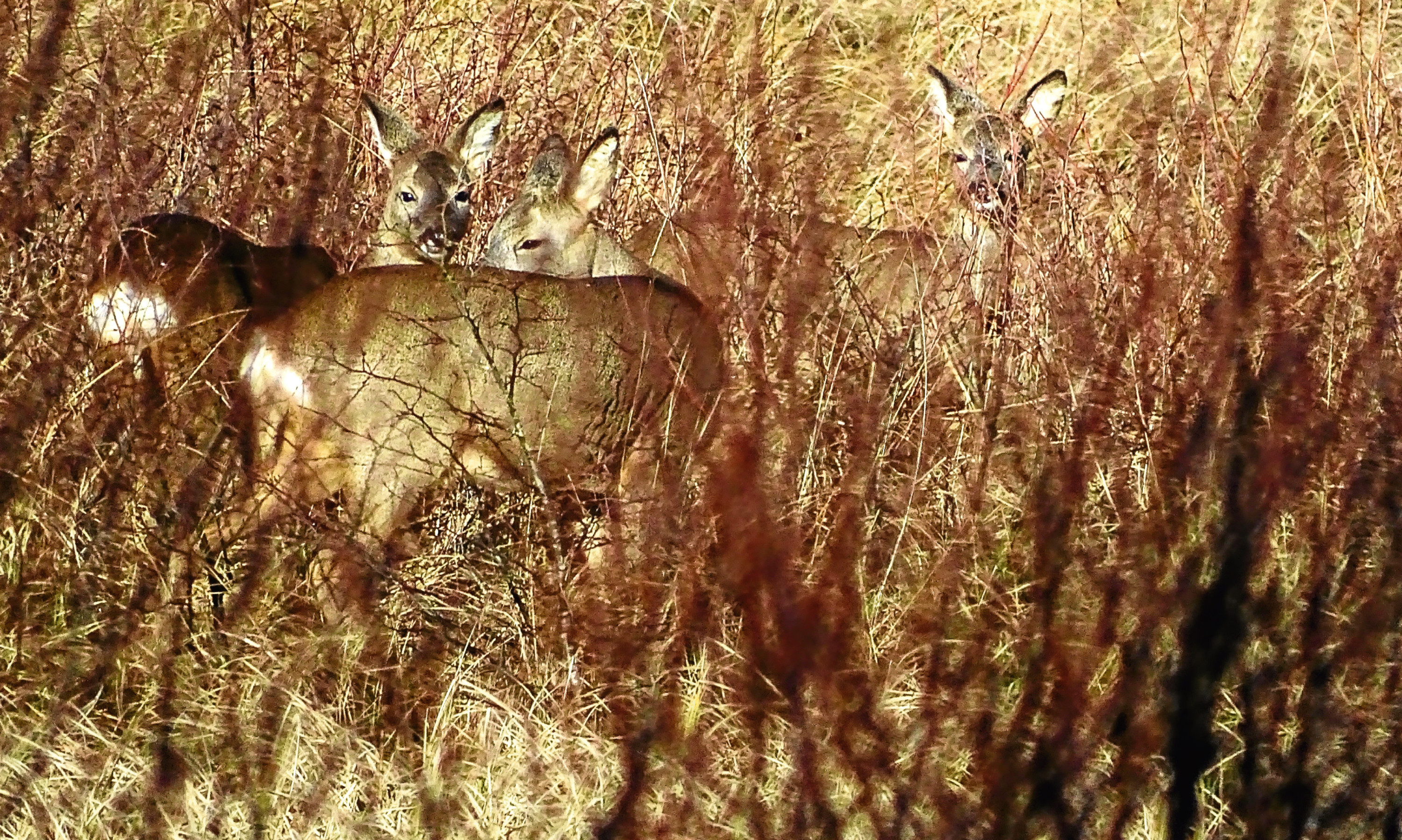 The three roe deer Jim saw when he was out and about on the Insh Marshes in the Cairngorms.