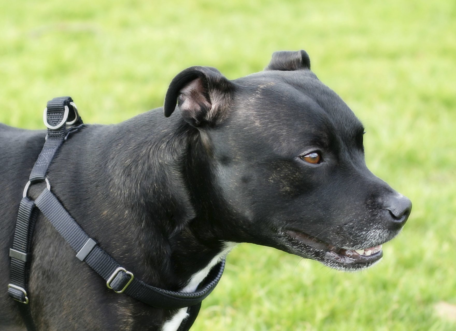The pensioner said she was set upon by a  Staffordshire Bull Terrier.